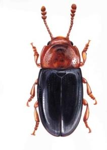 low res web beetle